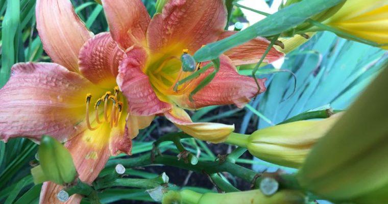 Tick Control: Praying Mantis Success